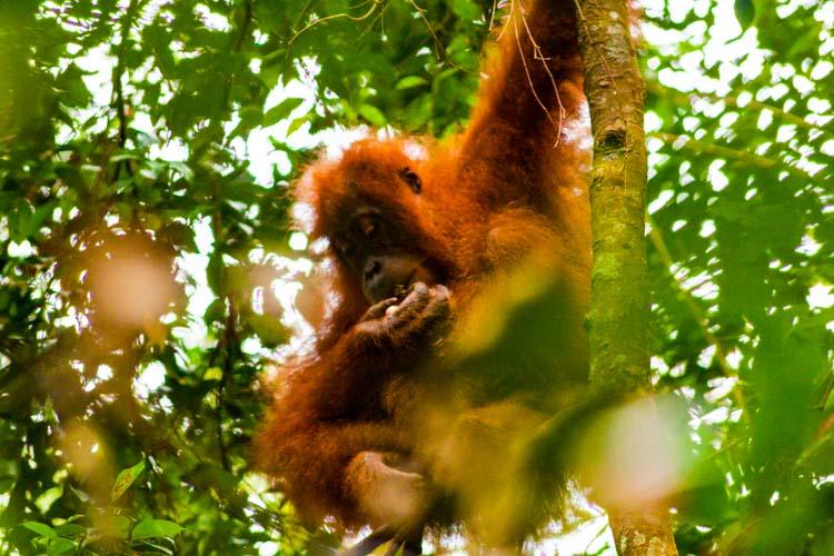Bukit Lawang Jungle Trek Full Size 42