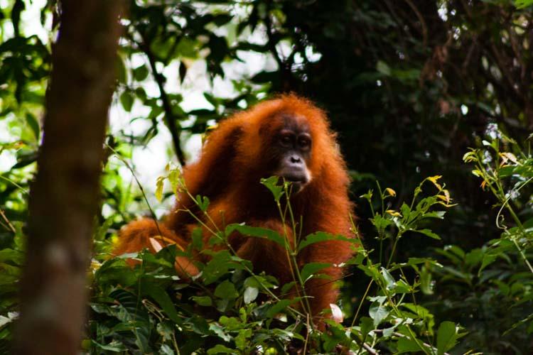 Bukit Lawang Jungle Trek Full Size 43